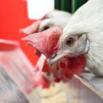 alimentação de frangos de corte