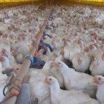criação de frango de corte