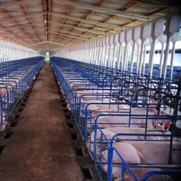 instalações para suínos