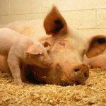 reprodução de suínos