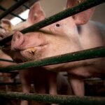 alimentação alternativa para suínos