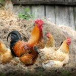 criar galinhas caipiras